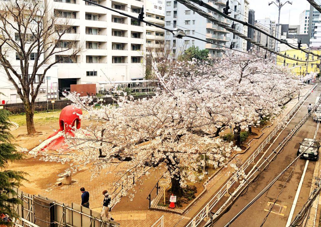 恵比寿 桜
